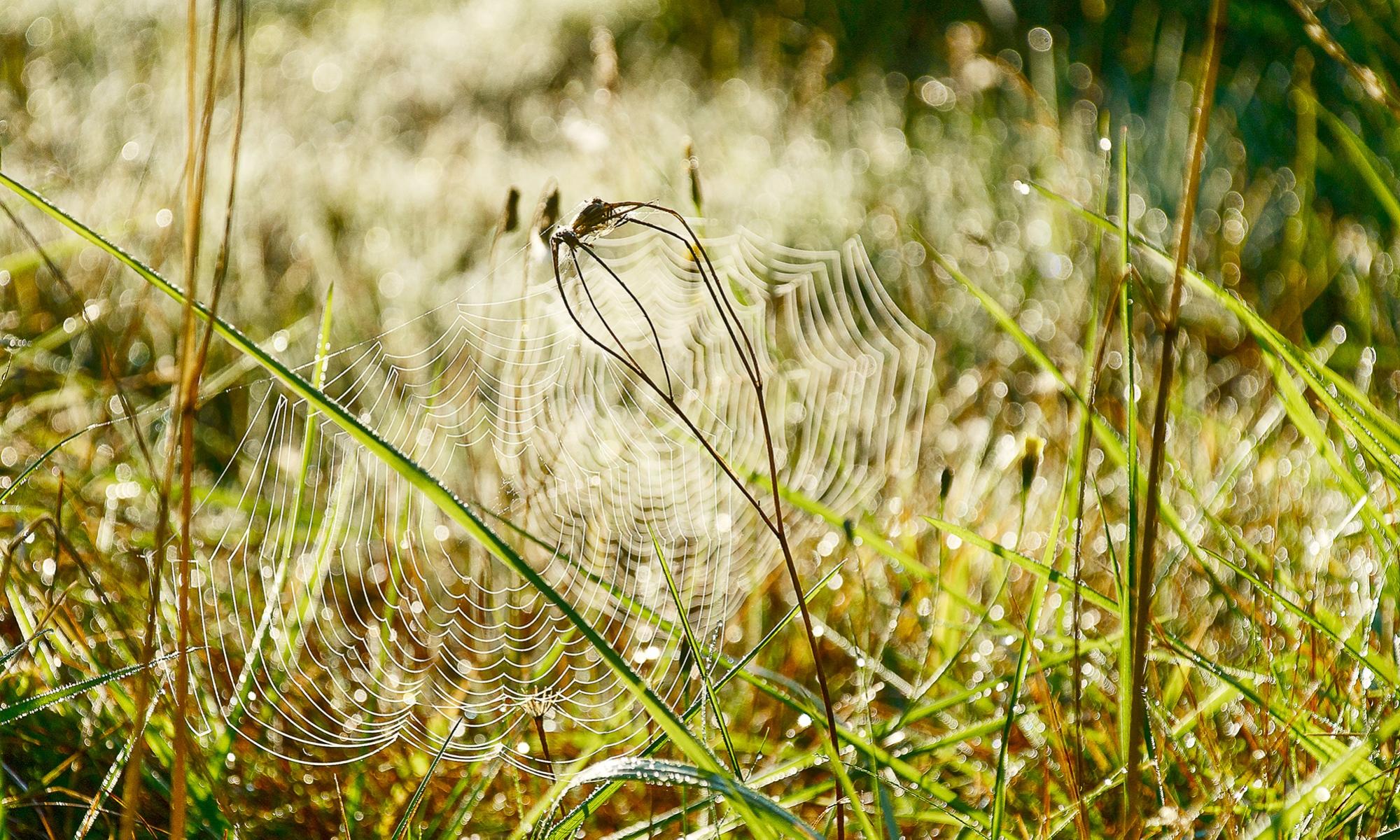Hämähärinverkko aamukasteessa.
